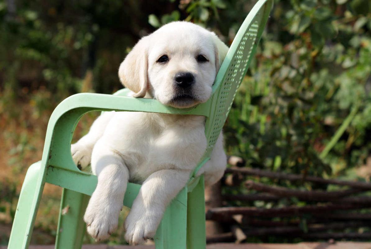 Training Labrador Puppies