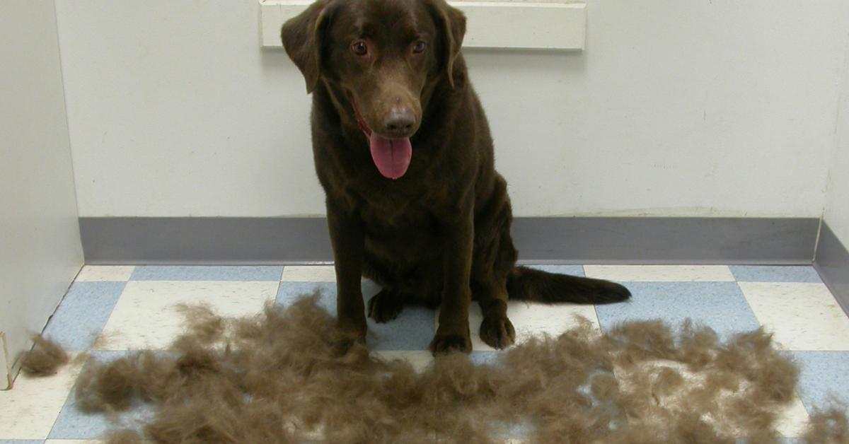 Labrador Retrievers shedding