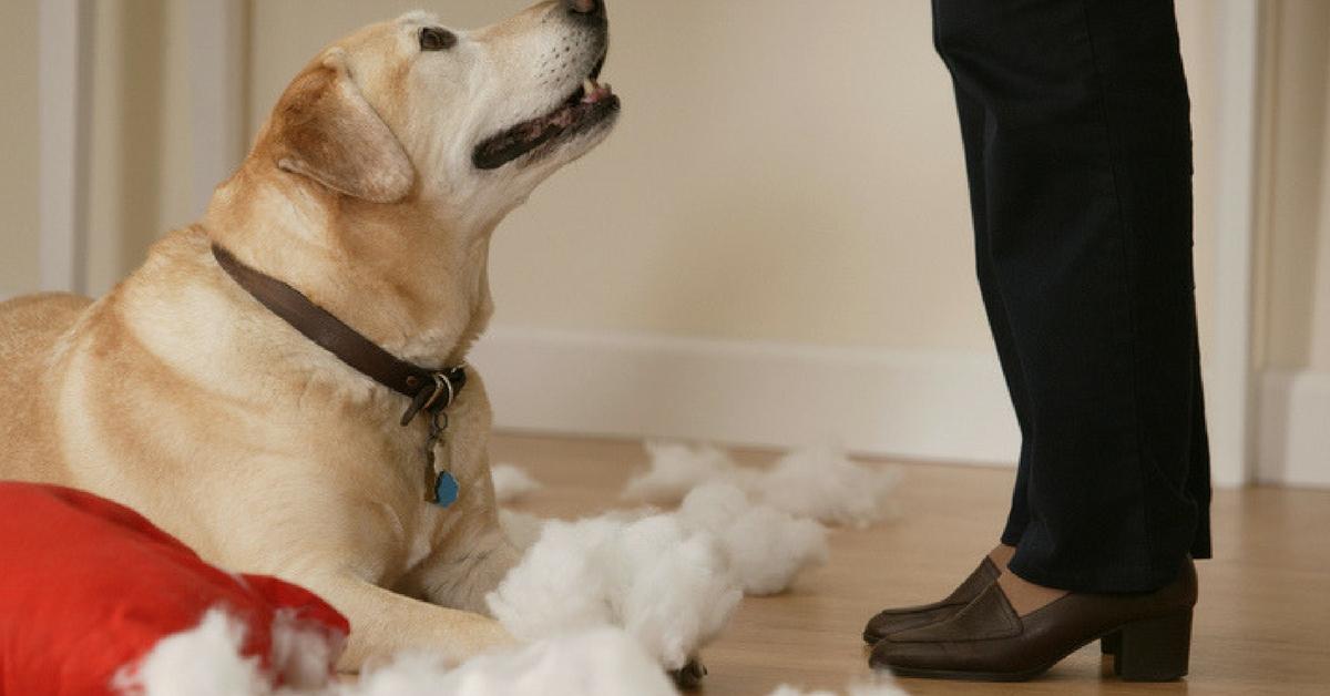 Labrador Training